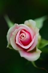 Some Say Love..... (Anna Kwa) Tags: pink macro art nature rose marina singapore flowerdome gardenbythebay