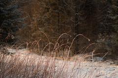 Un Matin Comme a -2- (Sous l'Oeil de Sylvie) Tags: morning snow cold nature pentax qubec neige february froid matin beauce tamron90mm fvrier bois 2013 k30 beauceville brindilles hiverqubcois sousloeildesylvie