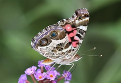 American Lady (DrPhotoMoto) Tags: butterfly northcarolina richmondcounty vanessavirginiensis