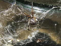 Theridiidae>Latrodectus  geometricus? Brown widow spider Female/Male DSCF4034 (Bill & Mark Bell) Tags: exmouth westernaustralia australia geo:town=exmouth geo:state=westernaustralia geo:country=australia geo:lon=11425453egeolat2217752sgeoalt8m 11425453e2217752salt8m taxonomy:kingdom=animalia animalia taxonomy:phylum=arthropoda arthropoda taxonomy:class=arachnida arachnida taxonomy:order=araneae araneae taxonomy:family=theridiidae theridiidae taxonomy:genus=latrodectus latrodectus geometricus taxonomybinomialnamelatrodectusgeometricus latrodectusgeometricus taxonomycommonnamebrownwidowspider brownwidowspider spider