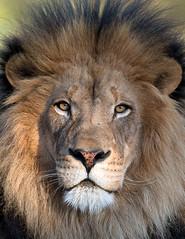 Izu_10Q5084 (day1953) Tags: animals canon zoo sandiego wildlife lion wap lions wildanimalpark bigcats izu sandiegowildanimalpark lioncamp africanlions 1dx flickrbigcats sandiegozoosafaripark sandiegosafaripark day1953 canon300f28isii