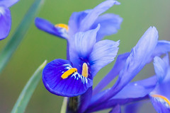 Dwarf irises (Steve-h) Tags: flowers blue ireland dublin white green art tourism nature yellow canon river design blog spring europe riverside zoom blossoms tourists telephoto bloggers blogging handheld recreation february riverbank horticulture irises allrightsreserved iso1600 spotmetering dodder aperturepriority canonef100400mmf4556lisusm 2013 miniirises steveh canoneos5dmkii canoneos5dmk2 spring2013 february2013