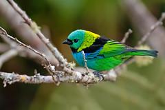 Tangara seledon (Techuser) Tags: park parque bird nature animal rainforest colorful aves national tropical nacional mata atlantica canon7030056is