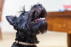 Adorable Puppy (danielfoster437) Tags: dog playing cute puppy happy eating adorable excited hund playful scottishterrier blackscottishterrier
