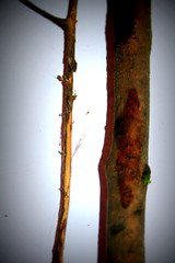 light twigs (Charlie Bissett) Tags: wood light nature forest sticks twins twigs lightbox
