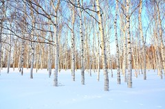 White birches (Keiko Hampton) Tags: trees winter snow tree nature landscape birch