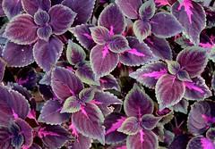 Cretonas (carlos_ar2000) Tags: naturaleza plant color colour planta hoja nature argentina leaf buenosaires santelmo