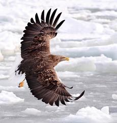 s AT DSC_5255 (Andrew JK Tan) Tags: winter ice birds japan hokkaido eagle wildlife flight rausu 2013 icedrift whitetailseaeagle