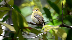 cr 123 Yellowish Flycatcher (Yogurt75) Tags: costa birds rica nikond7000 sangerardodedotacostarica danticacloudforestlodge