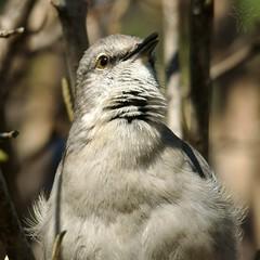 Mockingbird (Shutter_Hand) Tags: usa bird dallas texas sony pssaro ave pajaro alpha aus oiseau mockingbird mimuspolyglottos vogel dallasarboretum pjaro a77 uccello     ruiseor lenscraft tzenzontle letnaturenurtureyou slta77v sonyalphaa77 miguelmendozamuoz sigma150500mmf563dgoshsmapolens