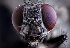 Fly (Lennart Tange) Tags: macro eye closeup fly compound micro microscope