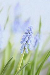 Muscari Armeniacum (haberlea) Tags: blue plant green texture home nature athome muscari muscariarmeniacum