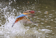 Great escape seq 3 of 3 (kampang) Tags: escape capture storkbilledkingfisher pelargopsiscapensis storkbilledfishing