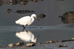untitled-1726.jpg (Tim Geary) Tags: bird nikon lough little birding egret d800 larne islandmagee digiscope ballycarry