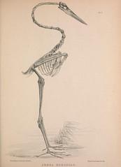 n120_w1150 (BioDivLibrary) Tags: birds anatomy bones smithsonianinstitutionlibraries taxonomy:binomial=ardeaherodias bhl:page=41399261 dc:identifier=httpbiodiversitylibraryorgpage41399261 2016bioblitz