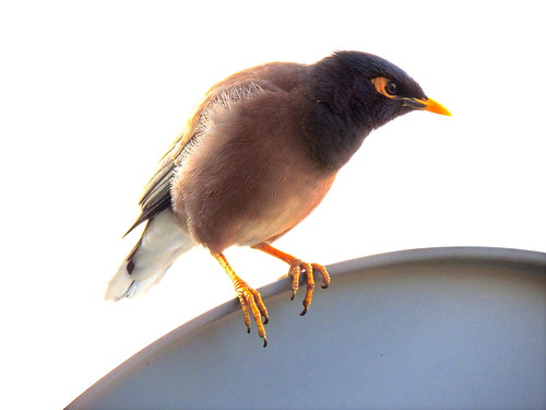 Indian Mynah