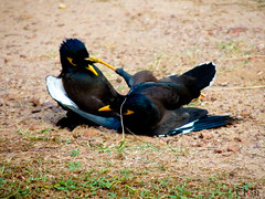 The Kick (CrishyM) Tags: birds animal fight nikon asia kick gang martialarts kungfu srilanka fighting rare survivors myna mynah violentbirds