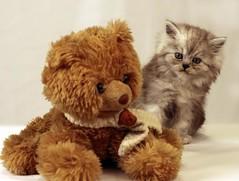 Cat9661 (58) (Cat9661) Tags: animals cat kittens حيوانات مون قطط هاف بسة فيس شيرازي بيكي بساس هملايا