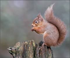 Another red squirrel photo! (kimbenson45) Tags: brown tree green animal scotland woods sitting eating perched animalplanet hazelnut cairngorms redsquirrel naturesimages