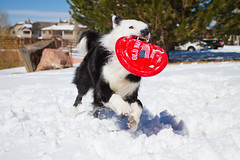 Smile! (Anda74) Tags: winter red snow action wideangle frisbee bordercollie ouzo canonef1740mmf4lusm oldnavy