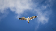 (Nicols Robles Fritz) Tags: blue sea sky bird beach clouds flying seagull cielo gaviota
