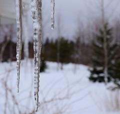 Last icicles of winter (Acadie67) Tags: winter hiver icicle acadie glace glaçon greyskies grisaille hivernal nbphoto nikond7000 atlanticcanadaatlantique newnouveaubrunswick