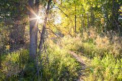 Dense (Michael Deleon Photo) Tags: morning autumn trees favorite green yellow forest sunrise flora colorado unitedstates sunburst paths littleton cottonwoods chatfieldstatepark