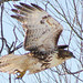 Red-tailed hawk in Willsboro. Photo: Bea Lucia, Plattsburgh, NY
