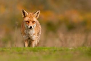 Red Fox - DoF play -