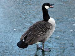 Kanadagans 02 (Stefan_68) Tags: bird ice germany deutschland pássaro goose gans eis oiseau canadagoose vogel pájaro uccello