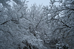 (Mcicki) Tags: trees winter snow branches snowstorm snowybranches