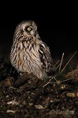 2013-03-26-Bugey-Lechuza-067 (https://www.instagram.com/masjota/) Tags: bird ave oiseau nuco rapaz rapacious rapace shortearedowl asioflammeus búhocampestre hiboudesmarais lechuzacampestre lechuzóndepajonal