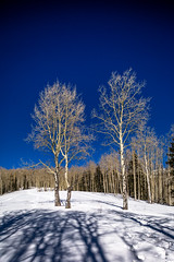 Three Aspen Trees In  A Snowy Meadow II (Mabry Campbell) Tags: wood blue trees winter usa mountain snow cold newmexico santafe tree nature forest landscape photography countryside us photo woods whispering photographer unitedstates image unitedstatesofamerica bluesky alpine photograph trunk aspens 100 24mm trunks february nm aspen f71 photogragher verticallines santafenationalforest 2013 santafecounty tse24mmf35l sec eos5dmarkiii mabrycampbell february162013 whisperingaspen whisperingaspens 201302160h6a0421