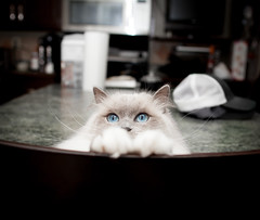 Ellie (js.12) Tags: blue baby cat kitten kitty paws pea ragdoll wiskers bluepoint peakaboo