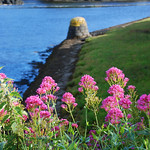 "Red Valerian at Clifden Harbour <a style=""margin-left:10px; font-size:0.8em;"" href=""http://www.flickr.com/photos/89335711@N00/8596675344/"" target=""_blank"">@flickr</a>"