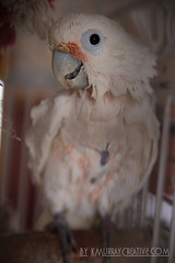 IMG_5330 (ReverieRevel) Tags: pet bird parrot boo cockatoo wetbird wetpet goffinscockatoo wetparrot