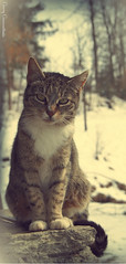 Trixie (somnium_ars) Tags: trees winter pet snow nature animal stone forest cat fur nose spring eyes snowy sleep tabby ears whiskers paws