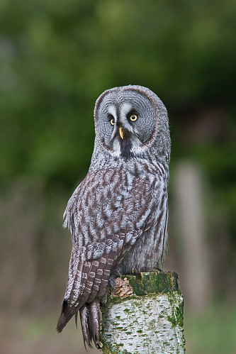Great Grey Owl (Strix nubulosa)