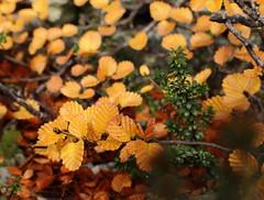 Fagus (Nothofagus gunnii) (Vive Naturaleza) Tags: fall leave autum australia tasmania otoo deciduous cradle fagus nothofagus caduco gunii