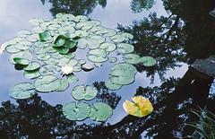 Lotus (odeleapple) Tags: nikon f100 af nikkor 50mm f18d kodaksupergold400 film lotus pond