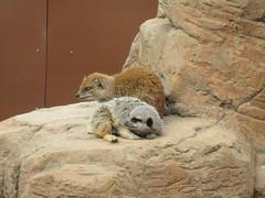 Yorkshire Wildlife Park (louisejaynemunton) Tags: yorkshire yorkshirewildlifepark takenin2016 england meerkat mongoose