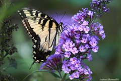 Swallowtail butterfly (Anton Shomali - Thank you for over 700K views) Tags: swallowtail butterfly swallowtailbutterfly black yellow tiger insect flower flowers plant wing body sony slta77v nature
