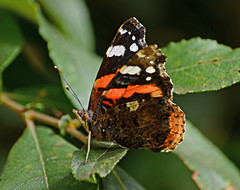 Red Admiral (Gaz-zee-boh) Tags: butterfly swanage dorset purbeckway insect nature lepidoptera uk almostanything d7k nikon