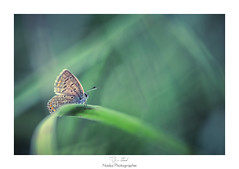 Le guetteur (Naska Photographie) Tags: naska photographie photo photographe paysage proxy proxyphoto papillon butterfly nature sauvage extrieur insectes canon sigma eos
