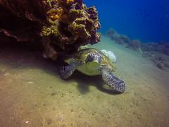 G1597765 (elizabeth.hall@live.com) Tags: philippines travel backpacking scuba diving whaleshark turtle cebu negros bohol el nido palawan ocean asia tarsier chocolate hills
