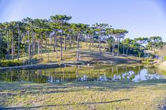 Araucaria Tree - Campo Alegre/SC - Brasil (Gilberto Russo) Tags: brasil campoalegre gilbertorusso nikon santacatarina serradonafrancisca campo arvores tree lake lago aoarlibre sky ceu nature natureza