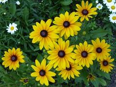 Elmhurst, IL, Elmhurst College Campus, Brown-Eyed Susan Flowers (Mary Warren (7.2+ Million Views)) Tags: elmhurstil elmhurstcollege nature flora plants blooms blossoms flowers yellow browneyedsusans