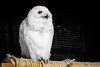 Day 216 - Snow Owl (moyesphotography) Tags: snowowl louisvillezoo