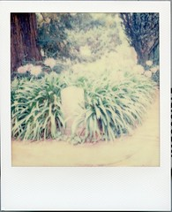 Impossible SX-70_080616_300_Agapanthus Mission Dolores San Francisco146 (*Snap_Shot*) Tags: impossiblefilm theimpossibleproject impossibleproject instantfilm impossiblehq ishootfilm shootinstantfilm filmisnotdead believeinfilm shootfilmstaybroke analogphotography squaremag instantafilmsociety sx70 polaroid polaroidcamera doloresmission sanfrancisco cemetery mission agapanthus plant floweringplant missiondolores
