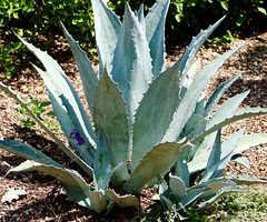 Blue Agave (Roth Henry Carroll) Tags: agave blue plants garden botanical tequila mexico rothcarroll rothphotography rothcarrollphotography rothcarrollphoto